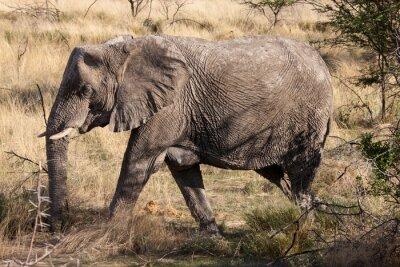 Fotomural Elefante africano caminando por el Parque Nacional de Etosha, Namibia