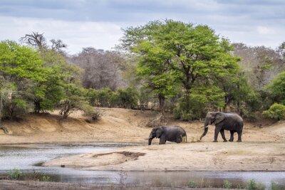 Fotomural Elefante africano de arbusto en el Parque Nacional Kruger