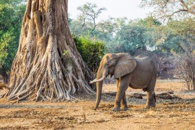 Fotomural Elefante africano (Loxodonta), caminando pasado un árbol grande