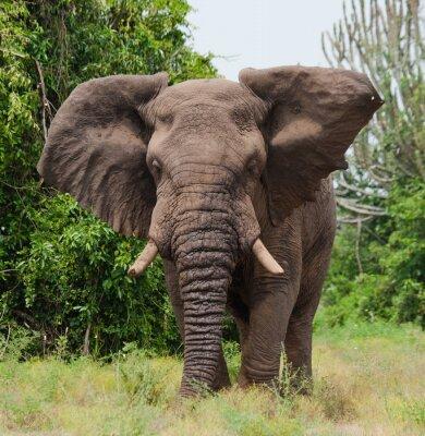 Fotomural Elefante en la sabana. Disparos desde el globo de aire caliente. África. Kenia. Tanzania. Serengeti. Maasai Mara. Una excelente ilustración.