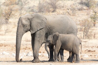 Fotomural Elefante Vaca y Calw en Namibia
