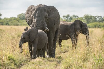 Fotomural Elefantenbulle con Jungtier