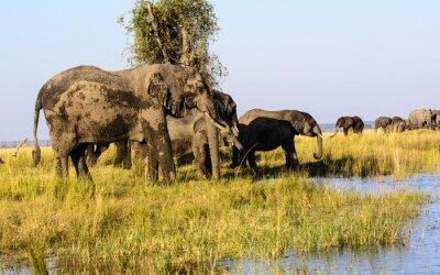 Fotomural Elefantes bebiendo del río Chobe