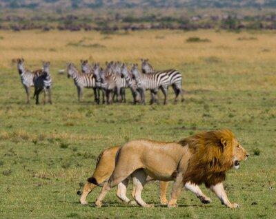 Fotomural Encuentro con el león y la leona en la sabana. Parque Nacional. Kenia. Tanzania. Masai Mara. Serengeti. Una excelente ilustración.