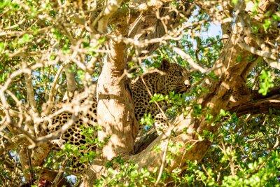 Fotomural escondite del leopardo en un árbol