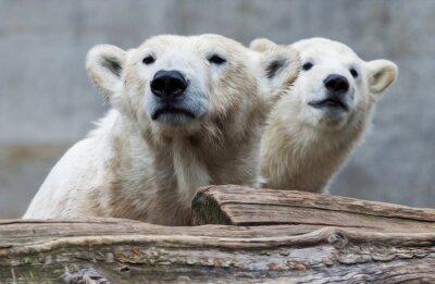 Fotomural Familia del oso polar