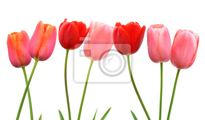 a32034979796 Fotomural Fila de flores de tulipán de primavera rosa y rojo sobre fondo  blanco