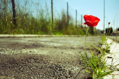 Fotomural Flor de amapola en el concreto: concepto de poder de la vida
