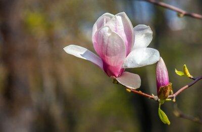 Fotomural Flor de la magnolia.