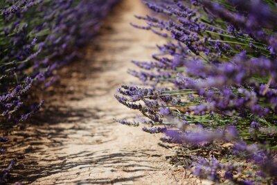 Fotomural Flor de lavanda en flor campos en Provenza, Francia