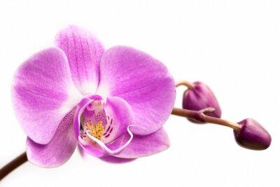 Fotomural Flor de orquídea rosa sobre un fondo blanco. Flor de la orquídea aislada.