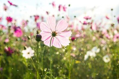 Fotomural Flor hermosa del cosmos con la lluvia