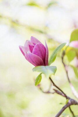 Fotomural Flor rosada de la magnolia