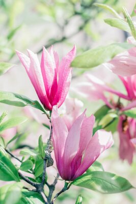 Fotomural Floración de flores de magnolia rosa en el tiempo de primavera