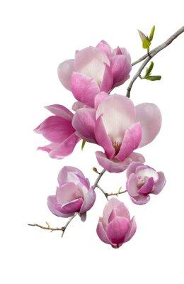 Fotomural Floración rama de la magnolia