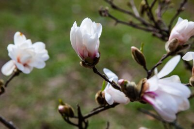 Fotomural Flores blancas del árbol de magnolia a principios de primavera