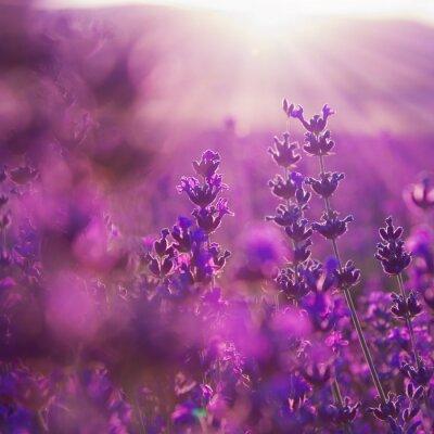 Fotomural flores de campo de lavanda
