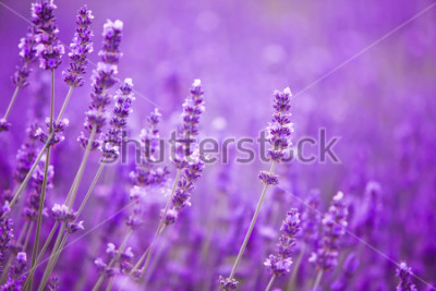 Fotomural Flores en los campos de lavanda en las montañas de la Provenza.