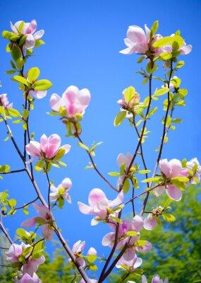 Fotomural Flores hermosas de la magnolia rosada en fondo del cielo azul. Imagen floral de primavera