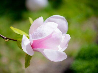 Fotomural Flores hermosas de la magnolia rosada en fondo verde. Imagen floral de primavera