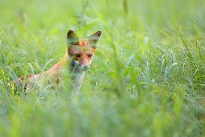 Fotomural Fox escondido en el césped en estado salvaje
