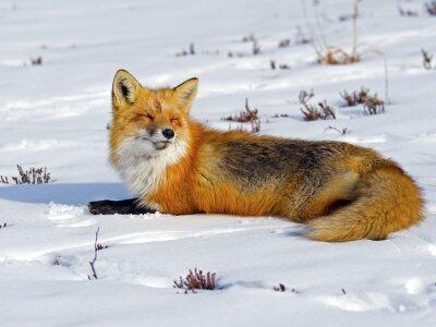 Fotomural Fox rojo tomando el sol en la nieve