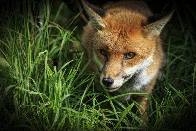 Fotomural Fox rojo (Vulpes vulpes)