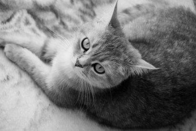 Fotomural Gato británico - blanco y negro