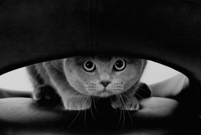 Fotomural Gato escocés divertido con los ojos redondos grandes que miran a través de un agujero (en estilo blanco y negro, retro)