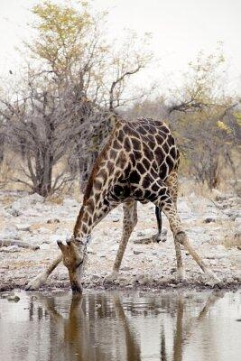 Fotomural Giraffe, Giraffa camelopardalis, en el Parque Nacional de Etosha, Namibia