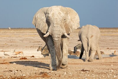 Fotomural Gran elefante africano (Loxodonta africana) toro cubierto de barro, Parque Nacional de Etosha, Namibia.