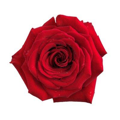 Fotomural Gran flor roja aislada rosa