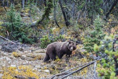 Fotomural Gran oso pardo buscando bellotas