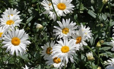 Grandes margaritas blancas flores con p talos de color for Fotomurales grandes y baratos