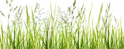 Fotomural Gräser, grashalme, wiese vor weißem hintergrund