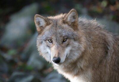 Fotomural Grauer Wolf Retrato 3