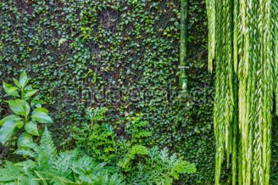Fotomural Grifo de riego verde viejo en la pared demasiado grande para su edad con la hiedra y la enredadera verde, fondo verde del jardín. Plantas verdes mojadas