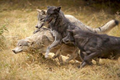 Fotomural Gris manada de lobos en el juego