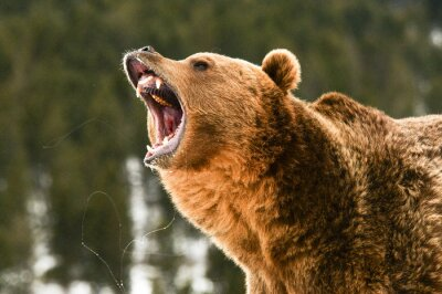 Fotomural Grizzly Bear