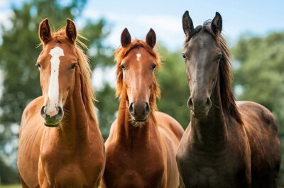 Fotomural Grupo de tres caballos jóvenes en el pasto