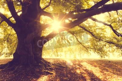 Fotomural Hayedo en la luz de la mañana