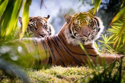 Fotomural Hermanos del tigre