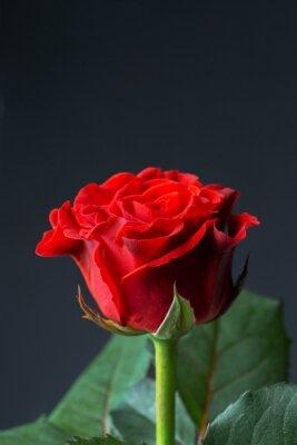 Fotomural Hermosa rosa roja