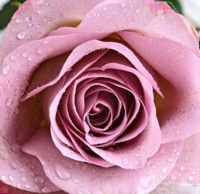 Fotomural Hermosa rosa violeta