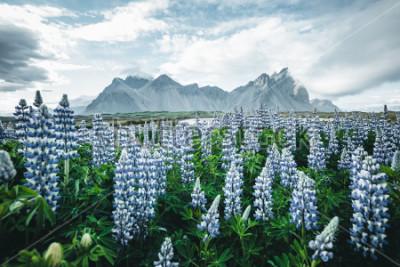 Fotomural Hermosa vista de las flores de lupino perfecto en un día soleado. Ubicación Stokksnes cabo, Vestrahorn (Batman Mount), Islandia, Europa. Maravillosa imagen del paisaje de la naturaleza del verano. Des