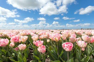 Fotomural Hermoso campo de tulipanes de color rosa en día soleado