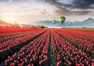 Fotomural Hermoso campo de tulipanes rojos en Holanda. Globos en el fondo. Fantástico evento primaveral