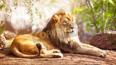 Fotomural Hermoso gran león africano que se establecen con árboles en el fondo