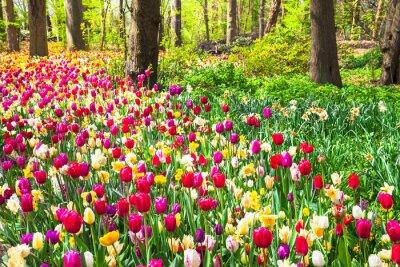 Fotomural Hermoso jardín con tulipanes vivos en flor en el parque de Keukenhof, Holanda
