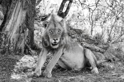 Fotomural Hermoso león